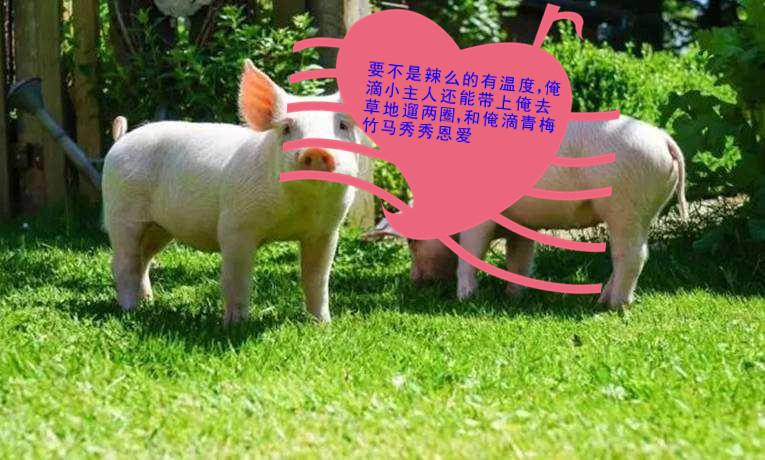 育肥猪预混料
